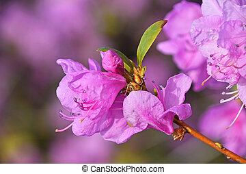Flor de azalea púrpura cerca