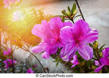 Flor de azalea rosa o púrpura floreciendo en el jardín de la naturaleza