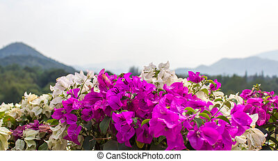 Flor de bougainvillea rosa