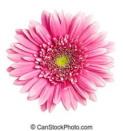 Flor de gerbera rosada aislada en un fondo blanco