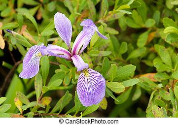 Flor de iris silvestre