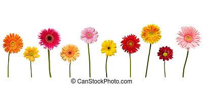 Flor de la naturaleza, la margarita botánica florece