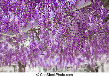 Flor de la Wisteria flor púrpura fondo de arco natural.