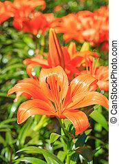 Flor de lirio en el jardín
