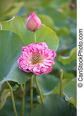 Flor de loto floreciente