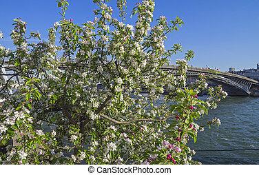 Flor de manzana en las orillas del Sena en París.