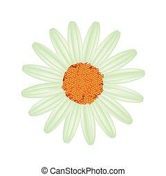Flor de margarita verde en un fondo blanco