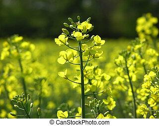 Flor de mostaza