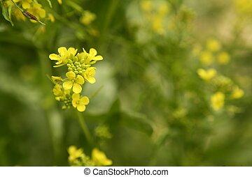 Flor de mostaza Sinapis Aiba flores amarillas y plantas, naturaleza