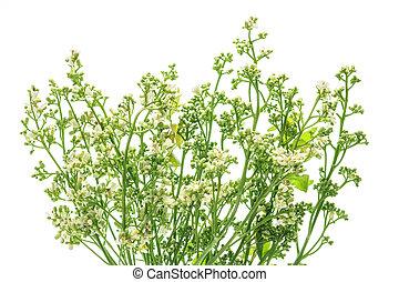 Flor de neem en blanco.