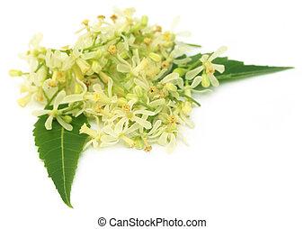 Flor de neem medicinal y hojas