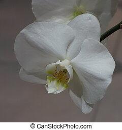 Flor de orquídea blanca