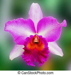 Flor de orquídea púrpura
