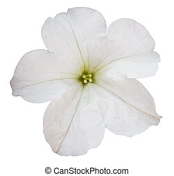 Flor de petunia blanca aislada sobre el fondo blanco