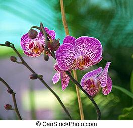 Flor de polilla rosa