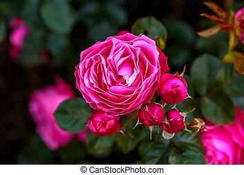 flor, fragante, lleno, rosa