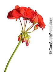 flor, geranio