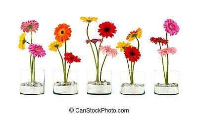 flor, gerbera, fila