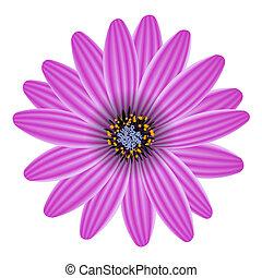 flor, púrpura, aislado, ilustración, vector, blanco