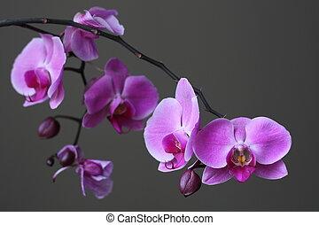 flor púrpura, zen, orquídea, phalaenopsis