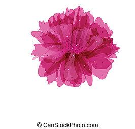 flor, peonía