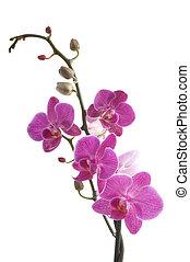 flor, plano de fondo, (phalaenopsis), rama, blanco, orquídea