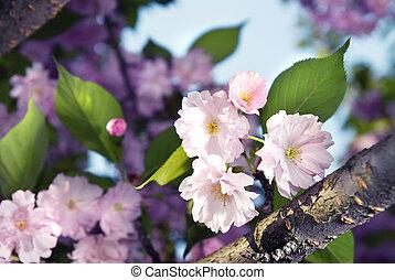 flor, primavera, púrpura, sakura