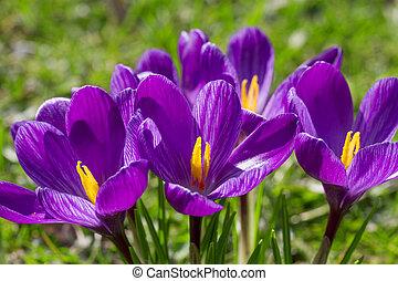 flor, primer plano, azafrán