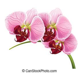 flor, rama, aislado, vector, plano de fondo, orquídea