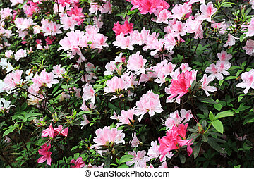 Flor, rododendro