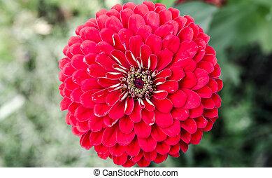 Flor roja se cierra