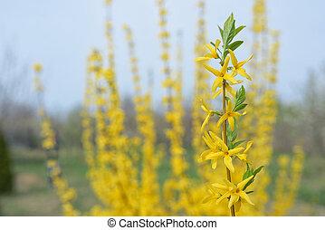 Floreciente arbusto de forsitia