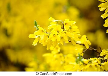 Flores amarillas de forsythia Bush