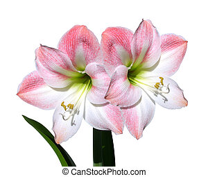 flores, amaryllis, rosa, aislado