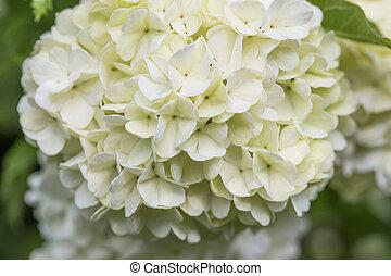 Flores blancas, flores de nieve, arbusto ornamental de Viburnum