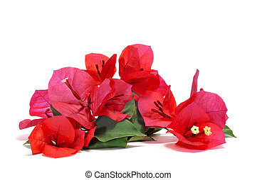 Flores Bougainvillea