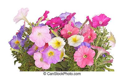 Flores coloridas de semillas de petunia
