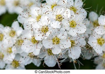 Flores de espiraa en el parque