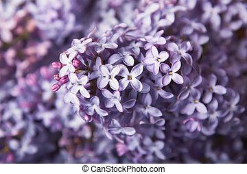 Flores de lila