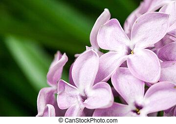 Flores de lilas violetas