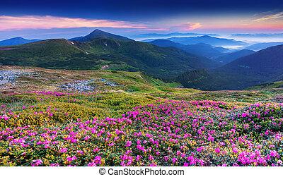 Flores de rododendro rosa mágicas en las montañas