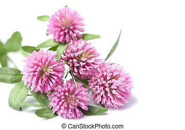 Flores de trébol rosa aisladas