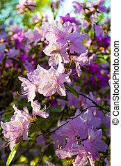 flores, labrador, té, rododendro, fondo., primavera
