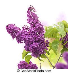 Flores lilas en primavera - borde de una página, color púrpura y verde