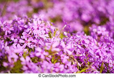 Flores púrpura como orígenes abstractas naturales con hermoso bokeh