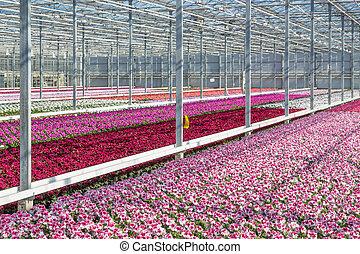 Flores púrpura en un invernadero