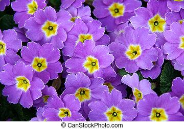flores, primavera, violeta