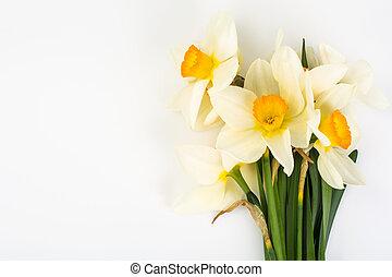 Flores primaverales de narcisos sobre fondo blanco