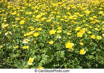 flores, ranúnculo