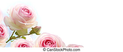 Flores rosadas, rosas rosas sobre un gradiente azul a fondo blanco, bandera horizontal